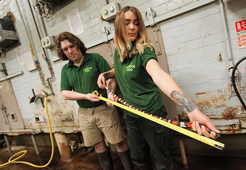 Королевська змія Кемпбелла на щорічному зважуванні і вимірюванні тварин у Лондонському зоопарку, Великобританія, 25 серпня 2011 р. Фото: Oli Scarff/Getty Images