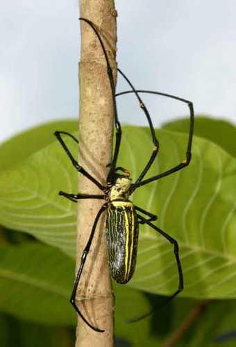 Найбільші павуки. Павук нефіла. Фото: thaibugs.com