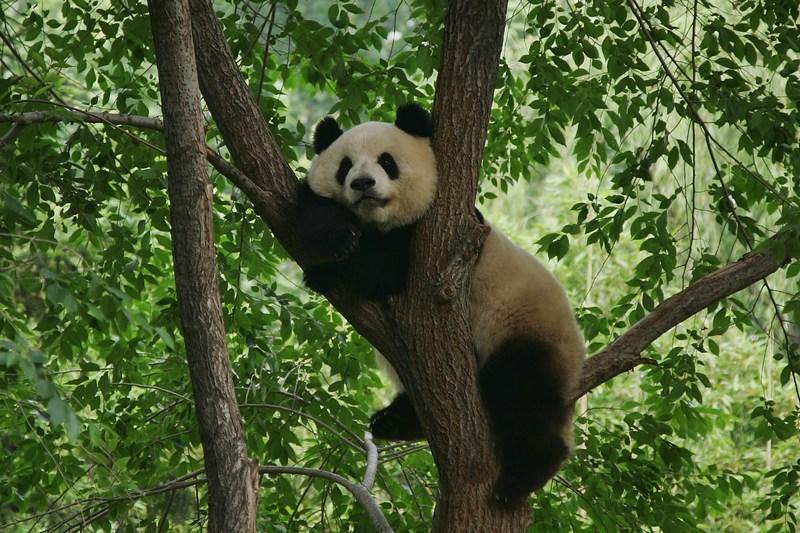 Пекин, Китай, 6 июня. Большая панда удобно уселась на дереве в пекинском зоопарке. Фото: Lintao Zhang/Getty Images