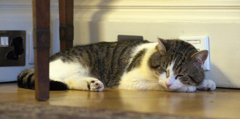 Кот по кличке Ларри ― один из самых узнаваемых и «влиятельных» котов в мире, которого премьер-министр Британии Дэвид Кэмерон поселил в своей резиденции на Даунинг-стрит для борьбы с грызунами, игнорирует свои обязанности. Фото: Carl Court/Getty Images