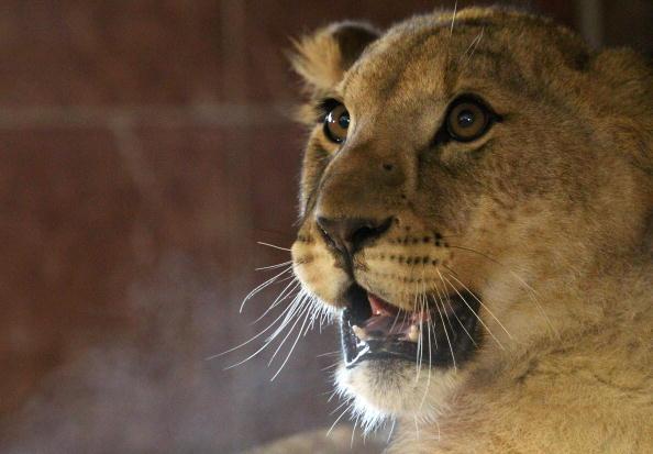 Левиця в англійському зоопарку «Ноїв Ковчег» народила трьох левенят, двох самців і одну самку. Брістоль, 2 лютого 2010. Фото: by Matt Cardy / Getty Images