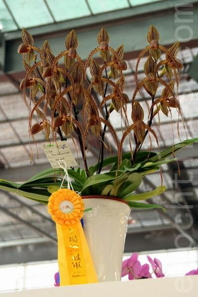 Переможеця конкурсу, орхідея - Shih-yueh («взуття святих»). Фото: The Epoch Times