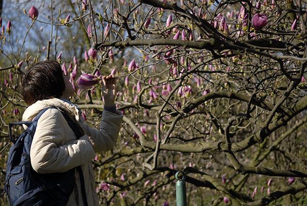 Цветы магнолии распустились в киевском ботаническом саду. Фото: Владимир Бородин/The Epoch Times