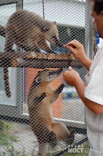 А это еноты-носачи. Фото НОВЫЙ МОСТ.