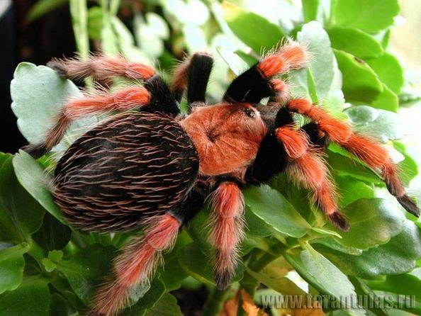 Найбільші павуки - птахоїди. Фото: tarantulas.ru