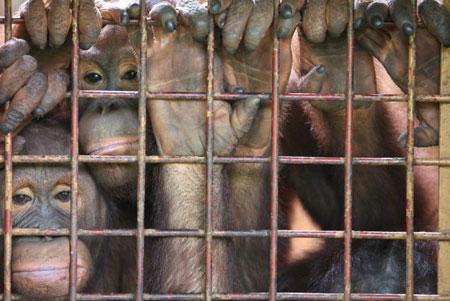 Джакарта. Орангутанги в одном из зоопарков Джакарты. Фото: Dimas Ardian /Getty Images