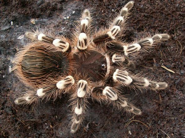 Найбільші павуки - птахоїди. Фото: club.foto.ru