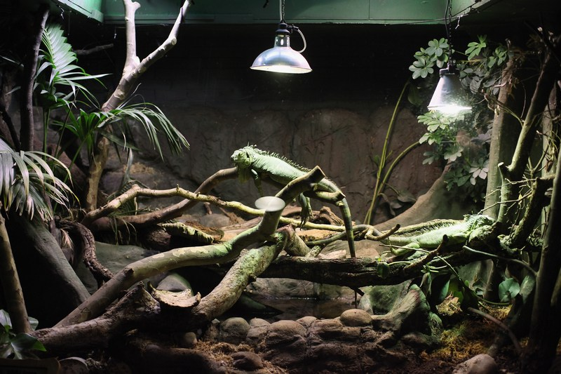 Ігуана на щорічному зважуванні і вимірюванні тварин у Лондонському зоопарку, Великобританія, 25 серпня 2011 р. Фото: Oli Scarff/Getty Images