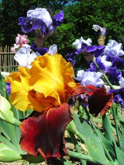 Коллекция ирисов Никитского ботанического сада. Фото: Алла Лавриненко/The Epoch Times Украина