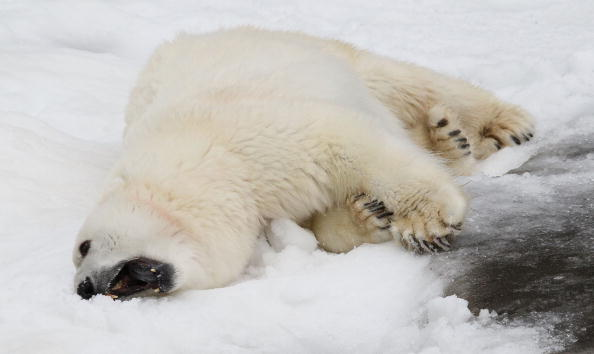 Білі ведмеді в зоопарку Сан-Франциско, Каліфорнія. Фото: Justin Sullivan/Getty Images