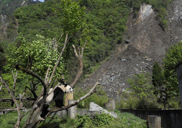 23 мая. Заповедник больших панд Волун. Фото: LIU JIN/AFP/Getty Images