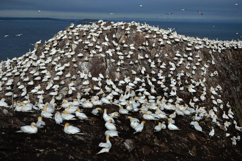 Данбар, Шотландия, 18 июня. Самая большая колония северных олушей, насчитывающая свыше 150 тыс. птиц, живёт на вулканическом острове Басс-Рок в заливе Ферт-оф-Форт. Фото: Jeff J Mitchell/Getty Images