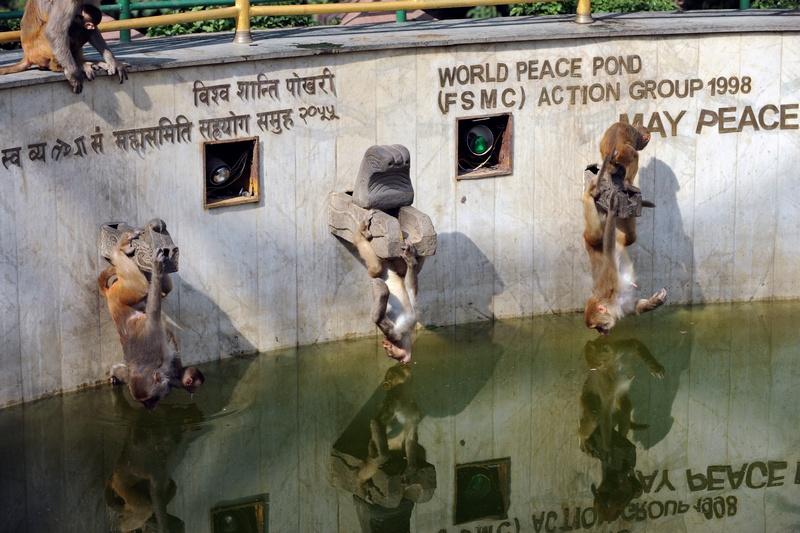 Катманду, Непал. 12 июня. Макаки пьют воду из пруда возле ступы Сваямбунатх или «Обезьяньего храма». Фото: PRAKASH MATHEMA/AFP/Getty Images