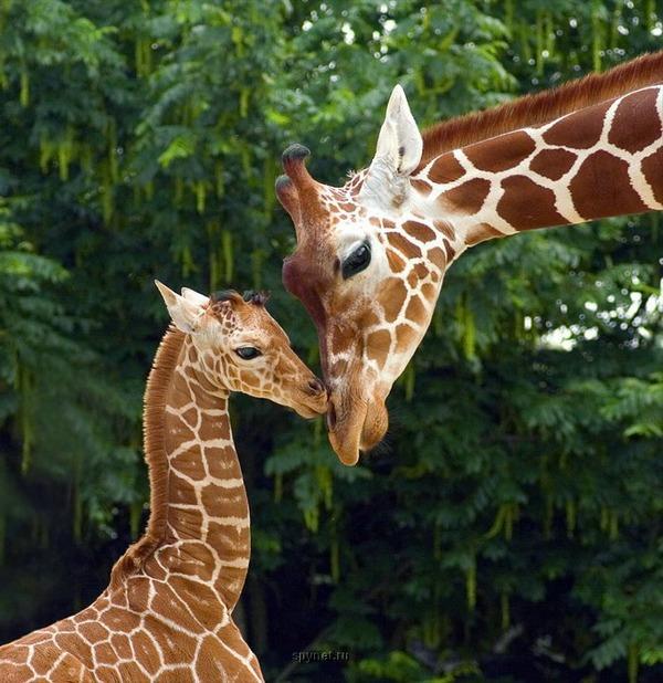 Жираф. Фото: interesno.dn.ua