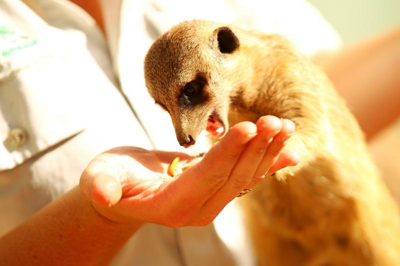 Сотрудник зоопарка угощает суриката. Зоопарк «Западные равнины Таронга». Даббо, Австралия. Фото: Mark Kolbe/Getty Images