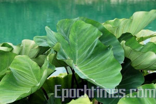 Листя лотосів. Озеро Жіюетан. Фото: The Epoch Times
