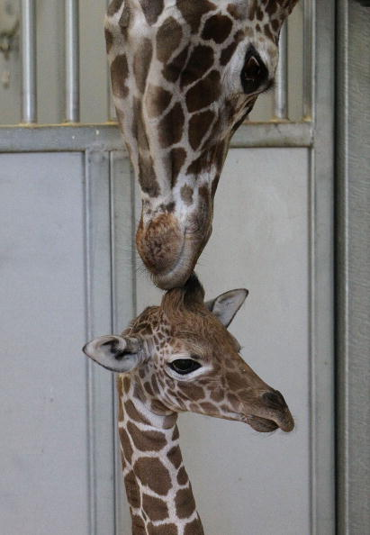 Мати доглядає за своїм новонародженим жирафинятком. У зоопарку планується провести конкурс на краще ім'я для дитинчати. Вальєхо, Каліфорнія. Фото: Justin Sullivan / Getty Images