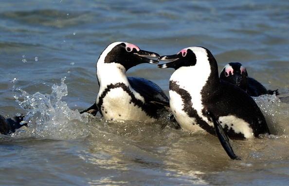 Пінгвіни - найбільш загартовані птахи. Фото: JEWEL SAMAD / Getty Images