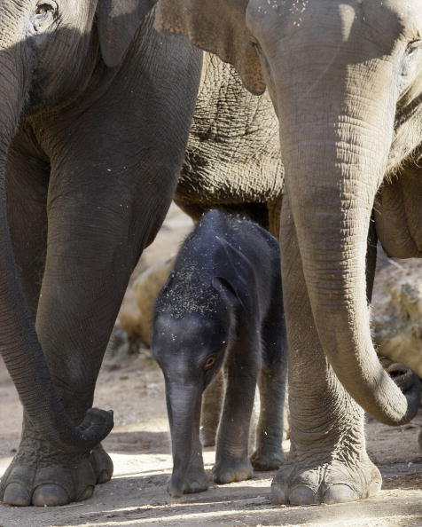 Новорожденный слоненок и его мама.Cидней. Зоопарк Таронга (Taronga Zoo).7 июля.Фото: ROB GRIFFITH/AFP/Getty Images