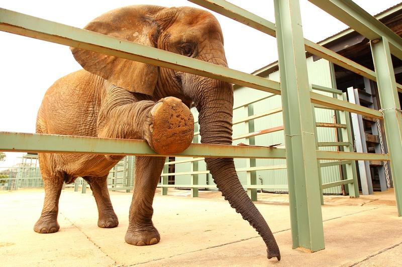 Африканская слониха «Милашка» в ожидании «маникюра». Зоопарк «Западные равнины Таронга». Даббо, Австралия. Фото: Mark Kolbe/Getty Images