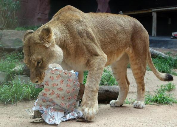 Животные ежегодно будут получать подарки. Фото: TORSTEN BLACKWOOD/AFP/Getty Images