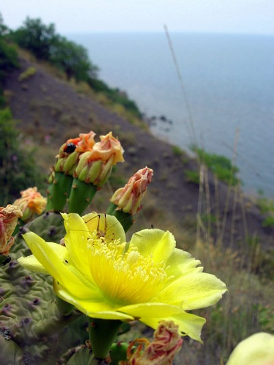 Квітучий кактус на схилі Карадага. Фото: Алла Лавриненко/The Epoch Times Україна