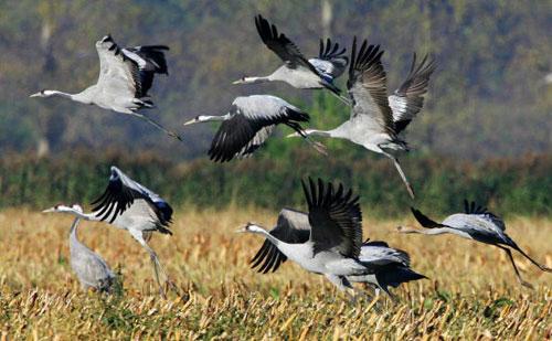 Перелётные птицы направились в тёплые края. Фото: MICHAEL URBAN/AFP/Getty Images