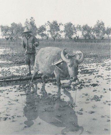 Крестьяне сажают рис. Фото с aboluowang.com
