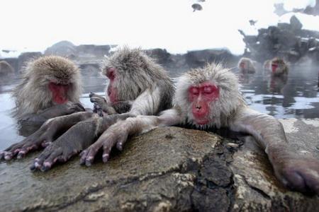 Обсихати щонайшвидше їм допомагає звичка перебирати один у одного шерсть, ніби-то у пошуках паразитів, але у мавп таке перебирання шерстяного покриву виражає прояв любові, згуртованості і турботи. Фото: Koichi Kamoshida/Getty Images