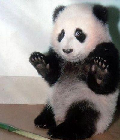 Кумедні панди. Фото з secretchina.com