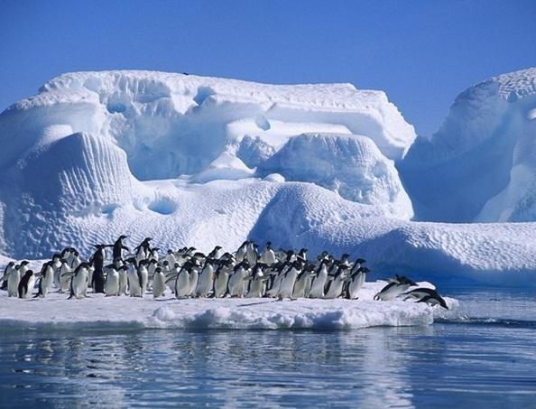 Пінгвіни - найбільш загартовані птахи. Фото: animalpix.ru