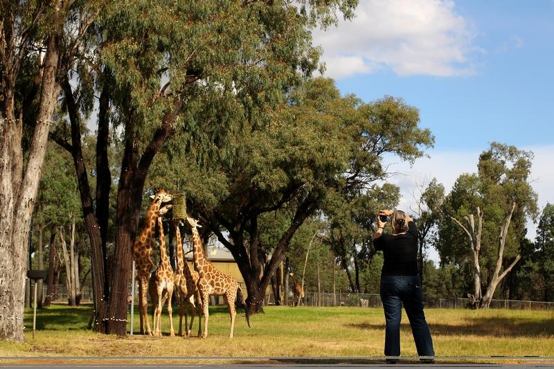Жирафы — фото посетителя на память. Зоопарк «Западные равнины Таронга». Даббо, Австралия. Фото: Mark Kolbe/Getty Images