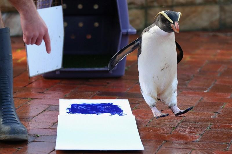 Сидней, Австралия, 27 июня. Работники зоопарка Taronga создают коллекцию отпечатков лап животных в рамках международного проекта сохранения природы. Фото: Cameron Spencer/Getty Images