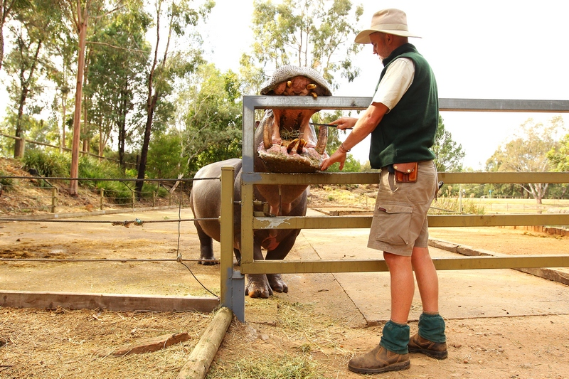 Сотрудник зоопарка Энтони Дорриан чистит клыки бегемота по имени «Счастливчик». Зоопарк «Западные равнины Таронга». Даббо, Австралия. Фото: Mark Kolbe/Getty Images