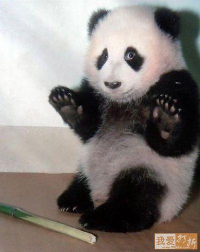 Кумедні панди. Фото: aboluowang.com