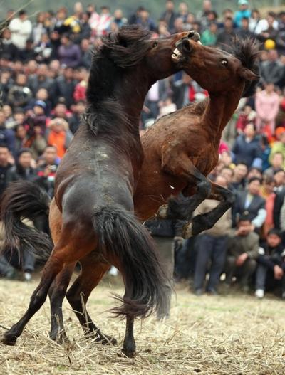 Лошадиные бои. Провинция Гуанси. 18 февраля 2011 год. Фото: ChinaFotoPress/Getty Images