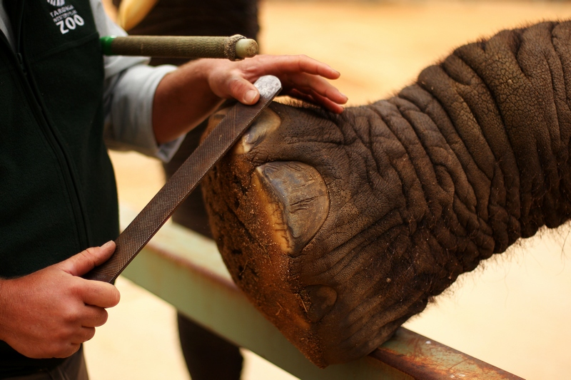 Сотрудник зоопарка Глен Салливан ухаживает за ногтями слонихи «Милашки». Зоопарк «Западные равнины Таронга». Даббо, Австралия. Фото: Mark Kolbe/Getty Images