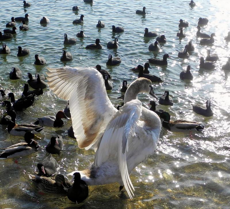 Лебеди в Севастополе. Фото: Алла Лавриненко/The Epoch Times Украина