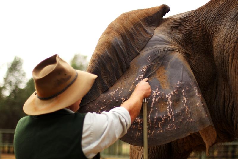 Водные процедуры африканской слонихи «Милашки». Зоопарк «Западные равнины Таронга». Даббо, Австралия. Фото: Mark Kolbe/Getty Images
