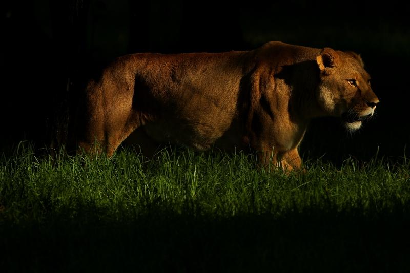 Львица в зоопарке «Западные равнины Таронга». Даббо, Австралия. Фото: Mark Kolbe/Getty Images