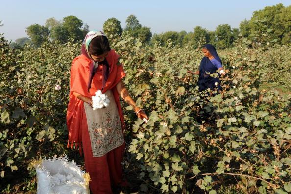 Індійські фермери збирають бавовну у полі в селі Бадарха. Індія має намір зібрати урожай в 30 млн тонн бавовни. Фото: SAM PANTHAKY / AFP / Getty Images