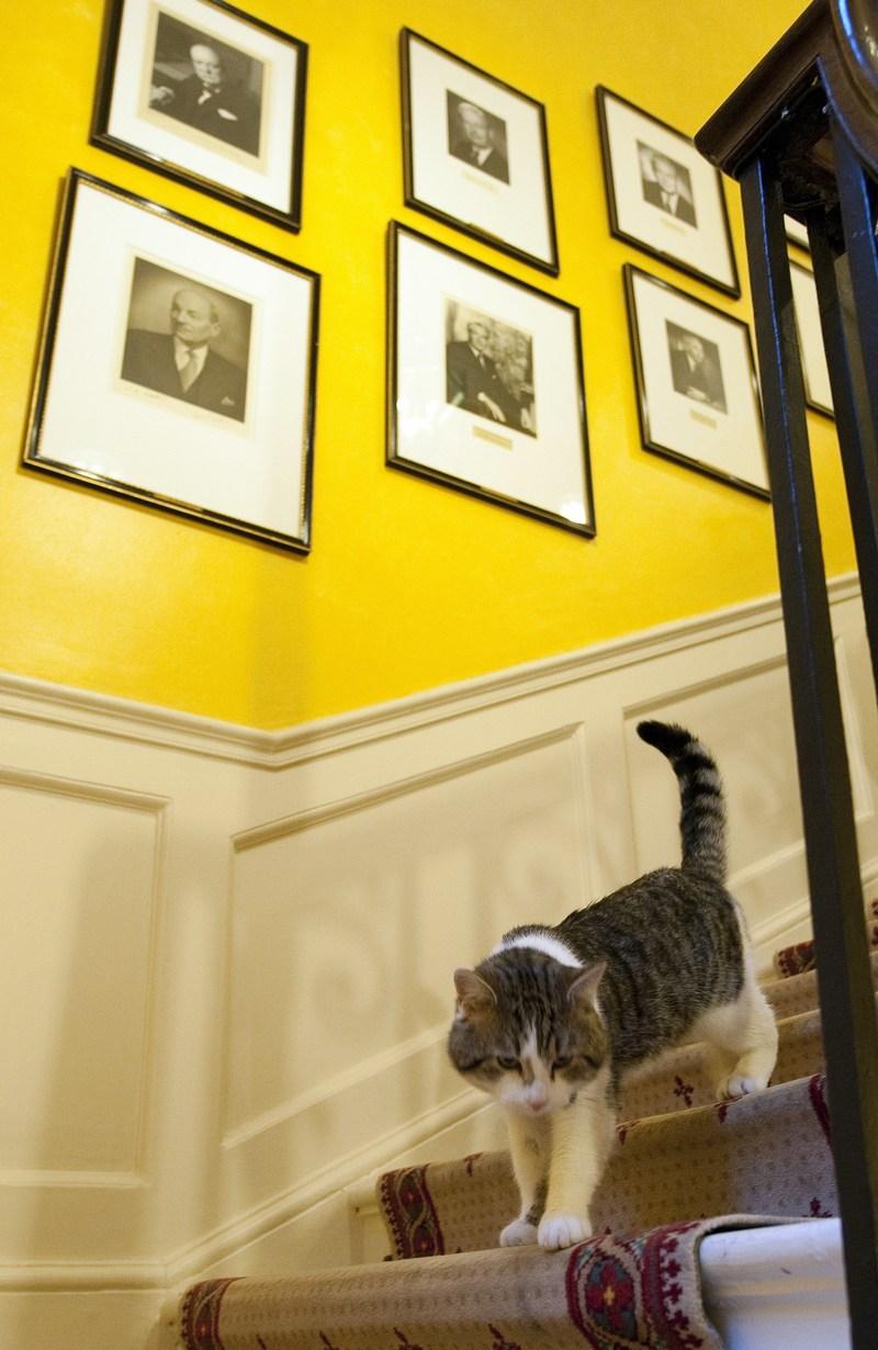 Кот по кличке Ларри ― один из самых узнаваемых и «влиятельных» котов в мире, которого премьер-министр Британии Дэвид Кэмерон поселил в своей резиденции на Даунинг-стрит для борьбы с грызунами, игнорирует свои обязанности. Фото: Mark Large/Getty Images