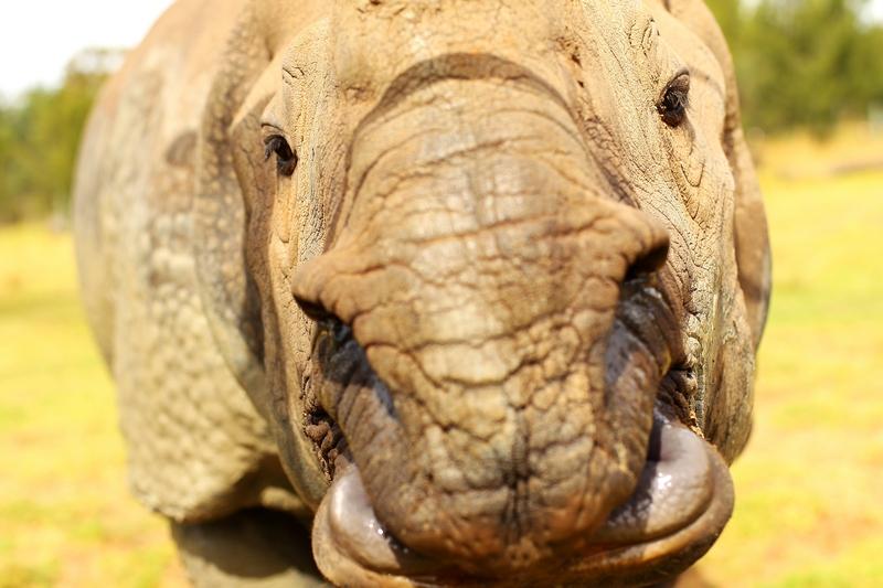 Индийский носорог собственной персоной в зоопарке «Западные равнины Таронга». Даббо, Австралия. Фото: Mark Kolbe/Getty Images