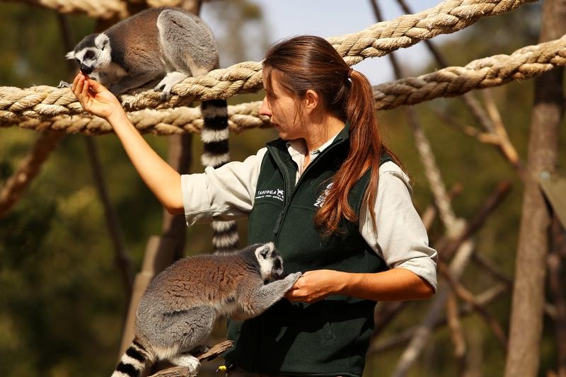 Сотрудник зоопарка Саша Брук кормит кошачьих лемуров. Зоопарк «Западные равнины Таронга». Даббо, Австралия. Фото: Mark Kolbe/Getty Images