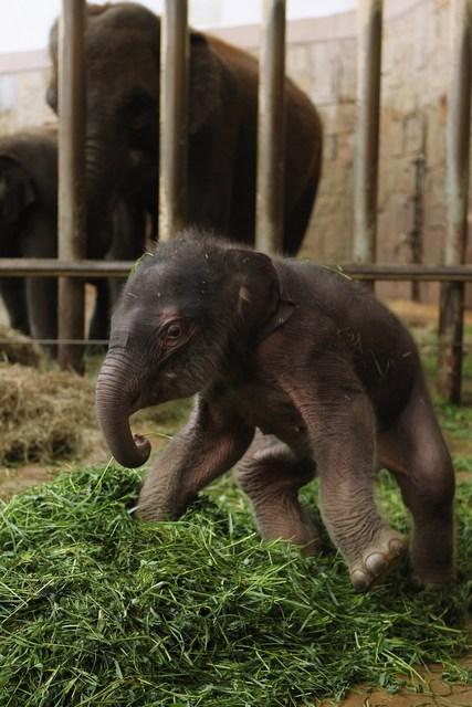 Двухдневный слонёнок в Берлинском зоопарке. Фото: Sean Gallup/Getty Images