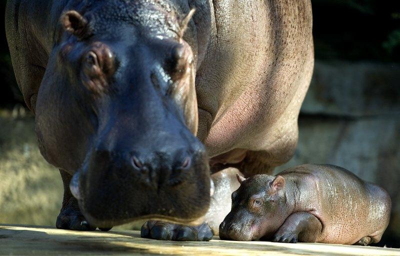 Бегемотиха Николь с малышкой в Берлинском зоопарке. Фото: ODD ANDERSEN/AFP/Getty Images
