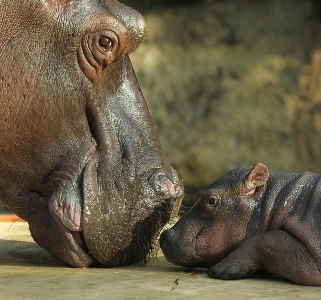 Бегемотиха Николь с малышкой в Берлинском зоопарке. Фото: Sean Gallup/Getty Images