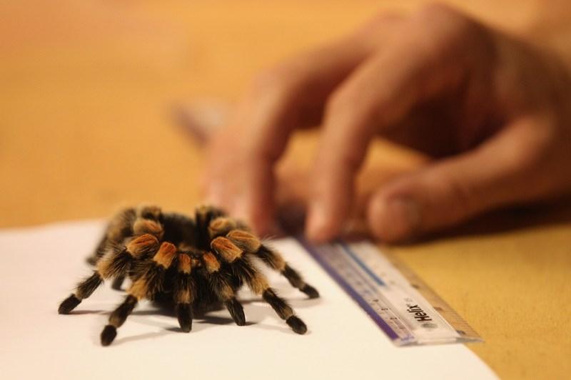 Мексиканський червоноколінний павук-птахоїд Жаклін на щорічному зважуванні і вимірюванні тварин у Лондонському зоопарку, Великобританія, 25 серпня 2011 р. Фото: Oli Scarff/Getty Images