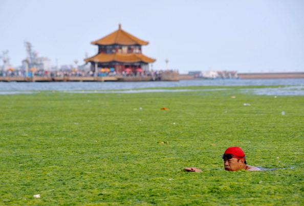 Водорості на узбережжі Циндао. Китайська провінція Шаньдун. Фото: STR/AFP/Getty Images