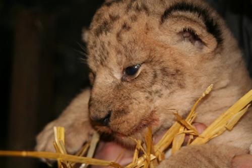 В Одеському зоопарку народились відразу три левеняти. Левенята і мама почувають себе відмінно. Фото: most-odessa.info